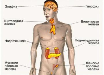 О функциях и значении желёз внутренней, внешней и смешанной секреции